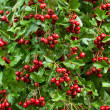 Ripe fruits of a hawthorn - Stock Photo