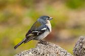 The Azores Bullfinch (Pyrrhula murina) in profile — Stock Photo