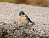 The Azores Bullfinch (Pyrrhula murina) — Stock Photo