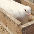 Stock Photo: White dove in nest