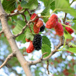 Seductive mulberry — Stock Photo