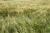Wheat is ripening — Stock Photo