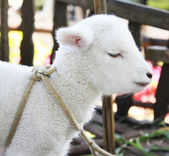 Lamm, stehend — Stockfoto