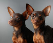 Two Miniature Pinschers — Stock Photo