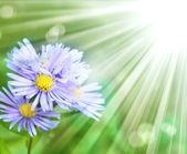 Beautiful sunny chamomile flowers — Stock Photo