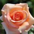 Fine flower rose - Stock Photo