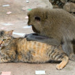Monkey and domestic cat — Stock Photo #10798029
