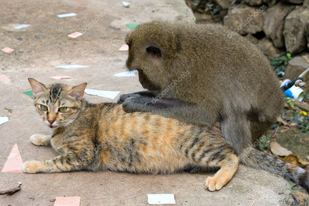 Monkey playing with a domestic cat , Thailand .  — Stock Photo #10798029