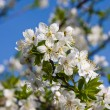 White cherry flowers on spring time - Stock Photo