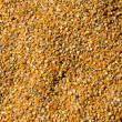 Grains of maize — Stock Photo