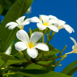 Plumeria — Stock Photo #10954000