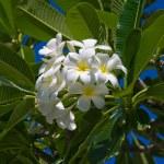 White Frangipani flower (plumeria) — Stock Photo #11082630