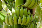 Bananas on a tree — Stock Photo