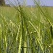 Green wheat field — Stock Photo #11283525