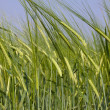 Green wheat field — Stock Photo #11283686