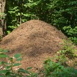 Anthill in a forest - Stock Photo