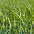 Green wheat field — Stock Photo #11328929