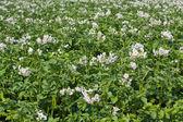 Zelená bramborová pole — Stock fotografie