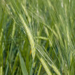 Green wheat field — Stock Photo #11371261