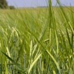 Green wheat field — Stock Photo #11371287