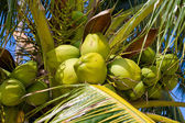 Coconuts tree — Stock Photo