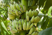 Bananas em uma árvore — Fotografia Stock