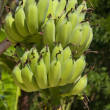 Bananas on tree — Stock Photo #11455647