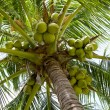 Stock Photo: Coconuts tree