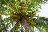 Orzechy kokosowe drzewo — Zdjęcie stockowe