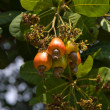 Cashew nuts growing on a tree. - Stock Photo