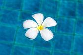 Flowers frangipani (plumeria) — Stock Photo