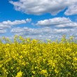 Canola Field — Stock Photo #11606279