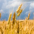 Wheat Field — Stock Photo #11606334