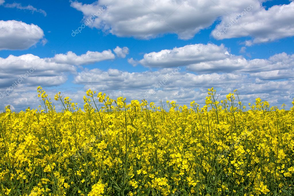Field of ripe canola plants in full bloom — Stock Photo #11606279