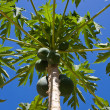 Stock Photo: Bunch of papayas hanging from the tree