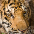 Stock Photo: Tiger face