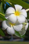 White Frangipani flower (plumeria) — Foto de Stock