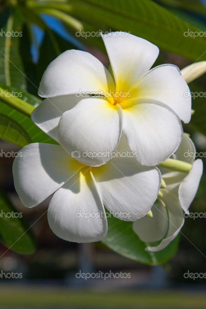 White Frangipani flower at full bloom during summer (plumeria) — Stock Photo #11742502