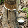 Milk of rubber tree flows into a wooden bowl - Stock fotografie
