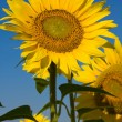 Sunflower field over blue sky — Stock Photo #11900795