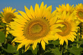 Sunflower field over blue sky — Stock Photo