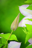 Bud clematis — Stock Photo