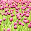 The colorful purple tulips blooming in a field — Stock Photo