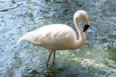 Pink flamingo alone standing in the water — Stock Photo