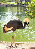 African bird: Grey crowned crane (Balearica regulorum) — Foto Stock