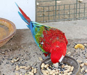 Beautiful scarlet red and green macaw eating his food — Stock Photo