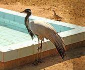 Blue heron in piedi di acqua e alimentazione — Foto Stock