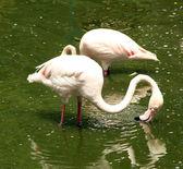 Roze flamingo's staan in het water — Stockfoto