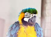 The potrait of Blue and Gold Macaw — Stock Photo