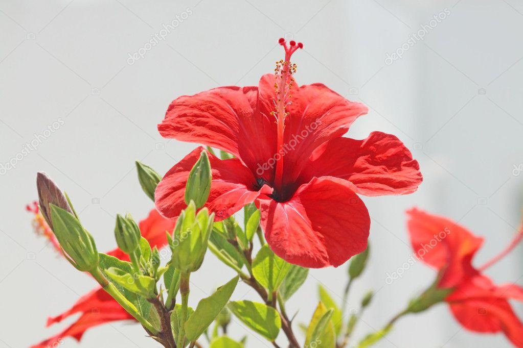 Gros plan de la fleur dhibiscus rouge lext rieur for Hibiscus exterieur rouge
